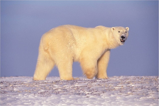 maxpixel.freegreatpicture.com-Polar-Bear-Looking-Bear-Snow-Walking-Predator-529638.jpg