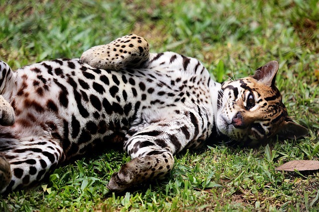 maxpixel.freegreatpicture.com-Wild-Ocelot-Lying-In-The-Grass-Feline-Animal-1200175.jpg